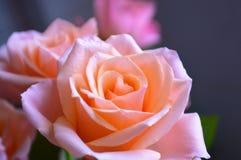 五颜六色的罗斯绽放 免版税库存图片