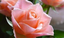五颜六色的罗斯绽放 免版税图库摄影