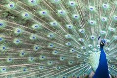 五颜六色的羽毛充分的孔雀 免版税库存图片