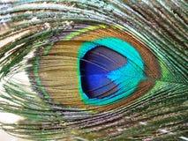 五颜六色的羽毛孔雀 免版税库存图片