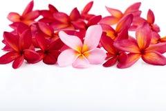 五颜六色的羽毛赤素馨花在白色背景安排了 免版税库存图片