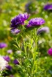 五颜六色的翠菊花 库存照片