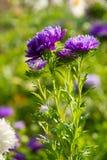 五颜六色的翠菊花 库存图片