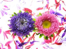 五颜六色的翠菊 免版税图库摄影