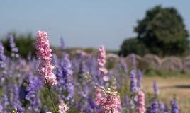 五颜六色的翠雀的领域在灯芯, Pershore,渥斯特夏,英国在背景中开花,有大包的干草 免版税库存图片