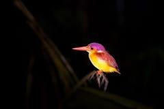 五颜六色的翠鸟鸟,支持黑的翠鸟 免版税库存图片