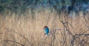 五颜六色的翠鸟 免版税图库摄影