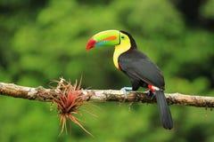 五颜六色的船骨开帐单的toucan鸟 库存图片