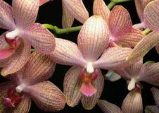五颜六色的花兰花 图库摄影