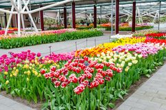 五颜六色的花和开花在荷兰春天庭院Keukenhof里 免版税库存照片