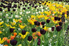五颜六色的花和开花在荷兰春天庭院Keukenhof里 库存照片