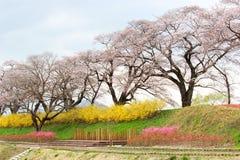 五颜六色的花和樱桃树在沿城石河岸的公园在宫城, Tohoku,日本在春天 库存照片