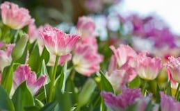 五颜六色的花园粉红色郁金香 免版税库存照片