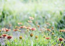 五颜六色的花天人菊属植物 图库摄影