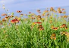 五颜六色的花天人菊属植物 库存照片