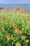 五颜六色的花天人菊属植物 免版税库存照片