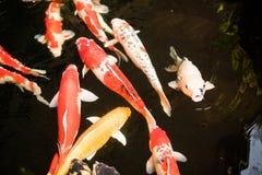 五颜六色的花梢鲤鱼鱼或koi鱼游泳 库存图片