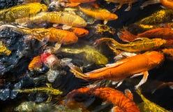 五颜六色的花梢鲤鱼鱼,拥挤一起争夺食物的Koi鲤鱼, 库存照片