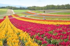 五颜六色的花田在日本 免版税图库摄影