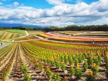 五颜六色的花田,北海道,日本 免版税库存图片