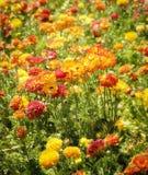 五颜六色的花田,南加州 库存照片