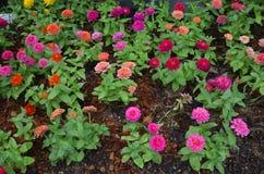 五颜六色的花百日菊属 免版税库存图片