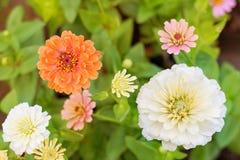 五颜六色的花百日菊属 免版税图库摄影