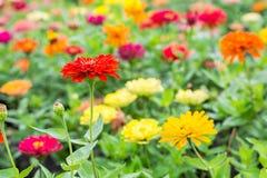 五颜六色的花百日菊属 免版税库存照片