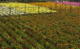 五颜六色的花的耕种在利古里亚里维埃拉的 免版税库存照片