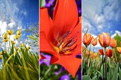 五颜六色的花郁金香 免版税库存照片