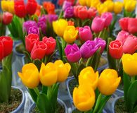 五颜六色的花郁金香 库存图片