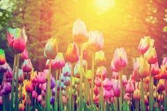 五颜六色的花,郁金香在公园 免版税库存图片