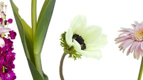 五颜六色的花,雏菊,银莲花属,水仙,百合属植物,继续前进白色背景 影视素材