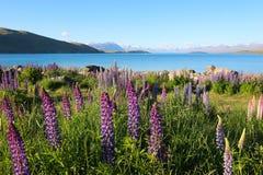 五颜六色的花 与特卡波湖和阿尔卑斯山南部背景的,南岛,新西兰的羽扇豆属polyphyllus 免版税库存照片
