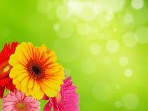 五颜六色的花gerber 库存图片