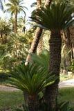 五颜六色的苏铁属revoluta在庭院里 免版税库存照片