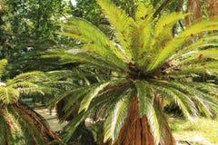 五颜六色的苏铁属revoluta在庭院里 库存图片