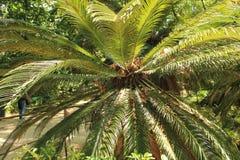 五颜六色的苏铁属revoluta在庭院里 图库摄影