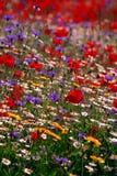 五颜六色的英国草甸野花 免版税图库摄影