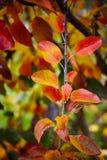 五颜六色的苹果树叶子 免版税库存图片