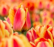 五颜六色的荷兰语荷兰横向郁金香 免版税库存照片