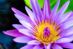 五颜六色的莲花早晨开花 免版税库存图片