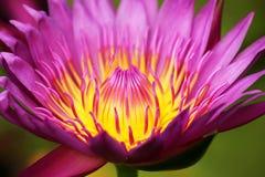 五颜六色的莲花本质上开花的 库存图片