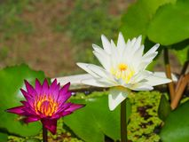 五颜六色的莲花 图库摄影