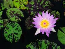 五颜六色的莲花 库存图片