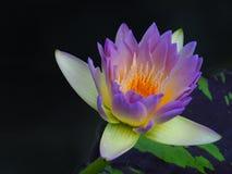 五颜六色的莲花 免版税库存图片