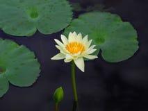 五颜六色的莲花 库存照片