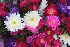 五颜六色的菊花美丽的花束  库存照片
