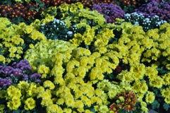 五颜六色的菊花 库存图片