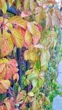 五颜六色的葡萄叶子 库存图片